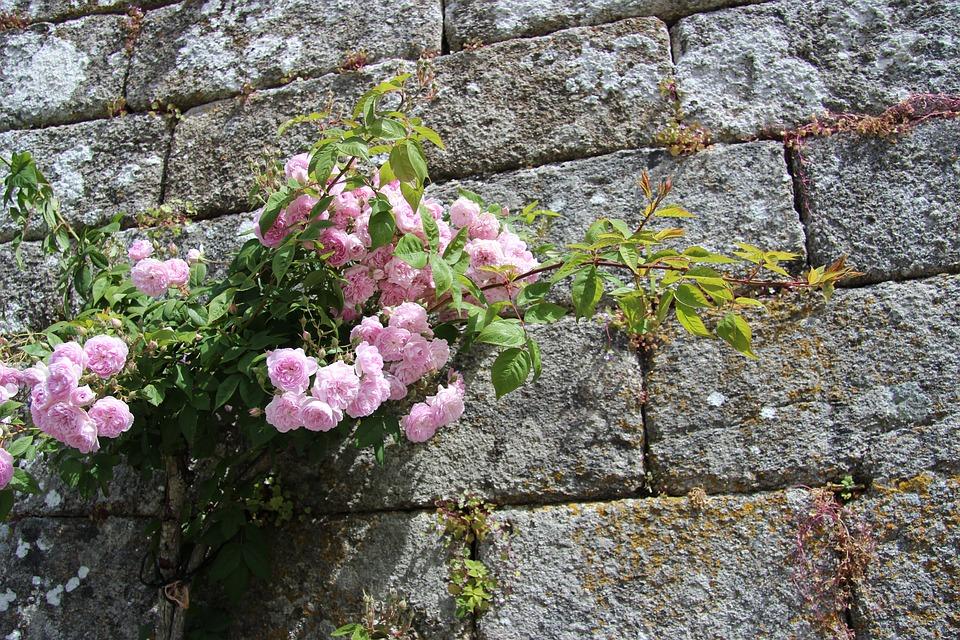 kamenná zeď s růží